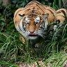 Prowlin Tiger 99